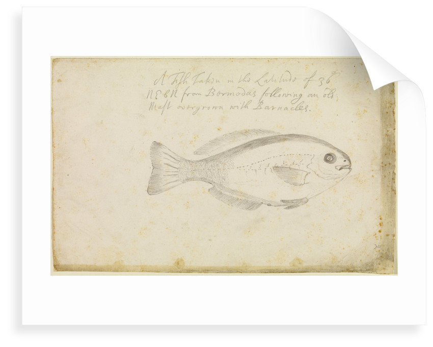 'Fish...from Bermuda' by Edmond Halley