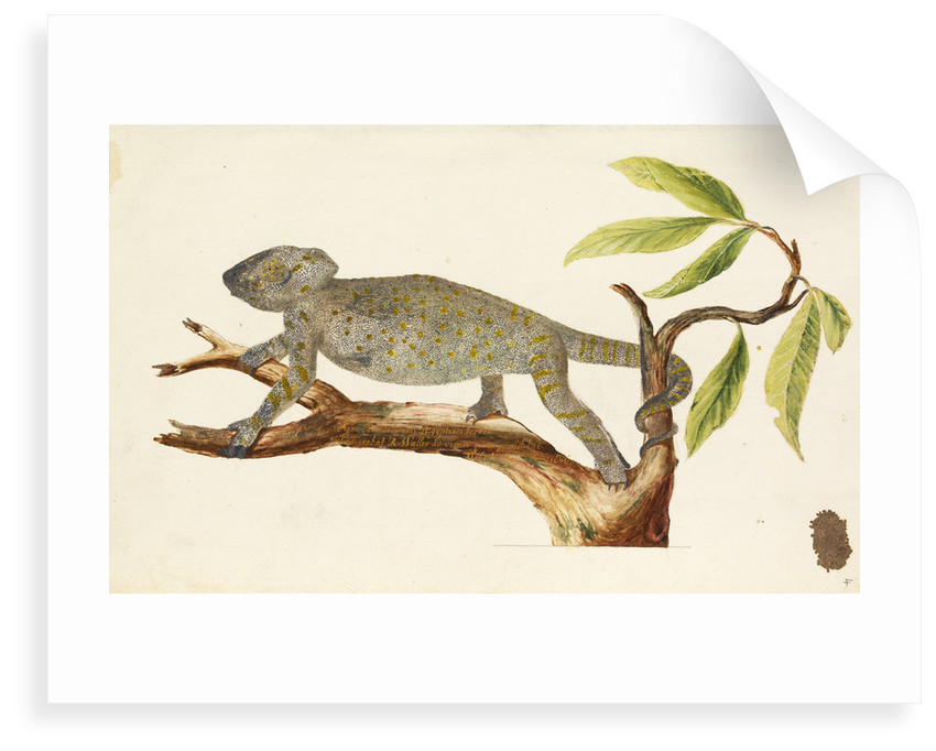 Egyptian chameleon by Richard Waller