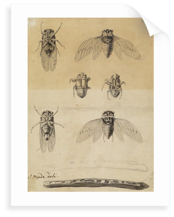 Cicadas by James Mynde