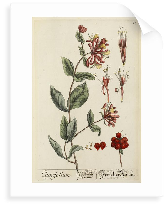 'Caprifolium' by Elizabeth Blackwell