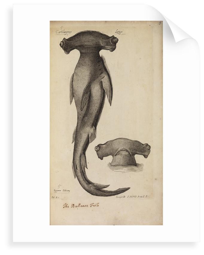 'Cartilaginei Longi' by Anonymous