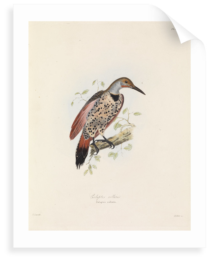 Red-shafted Flicker by John Christian Zeitter