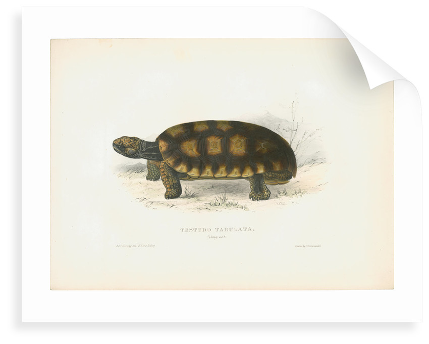 South American Tortoise by J D C Sowerby