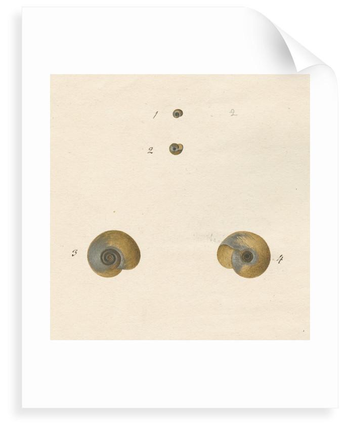 'Helix fontana' snail shell by John Agnew