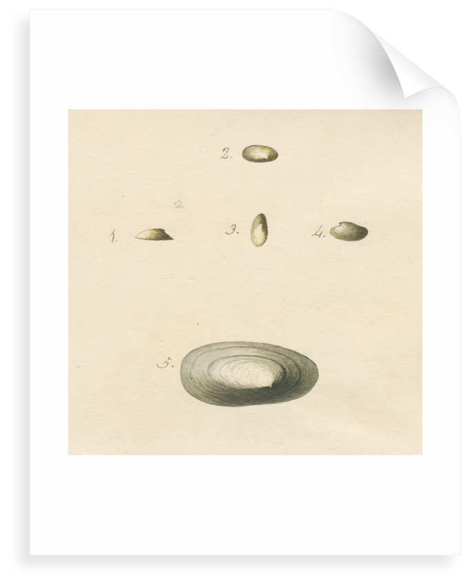 'Patella oblonga' shell by John Agnew