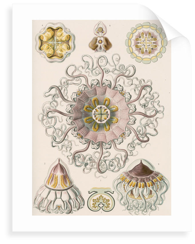 'Peromedusae' [jellyfish] by Adolf Giltsch