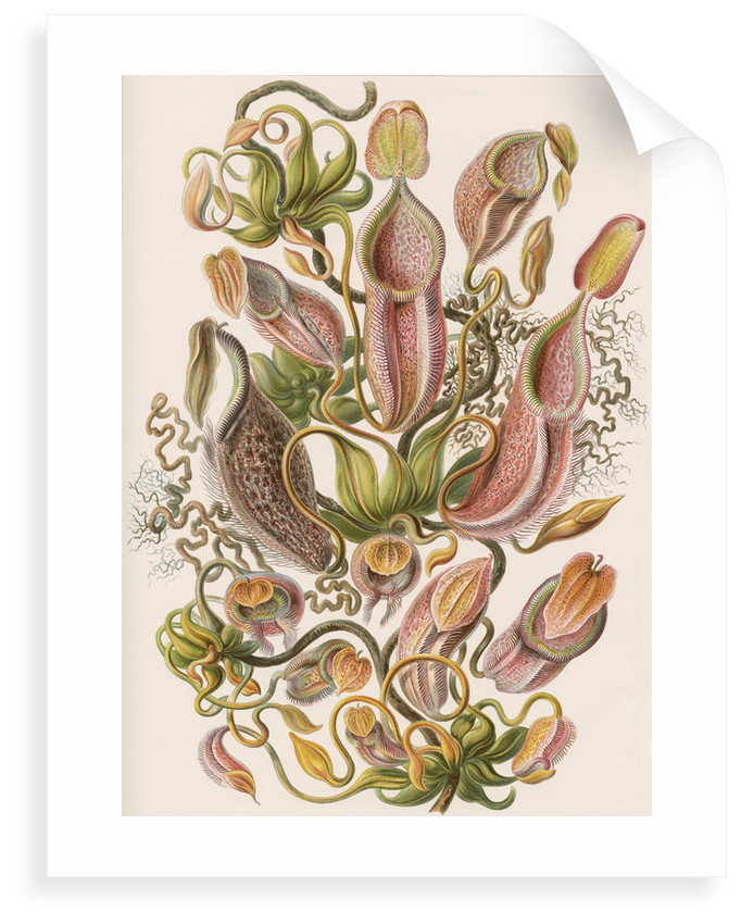 'Nepenthaceae' [pitcher plant] by Adolf Giltsch