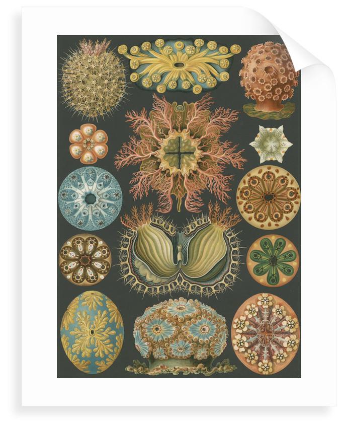 'Ascidiae' [sea squirts] by Adolf Giltsch