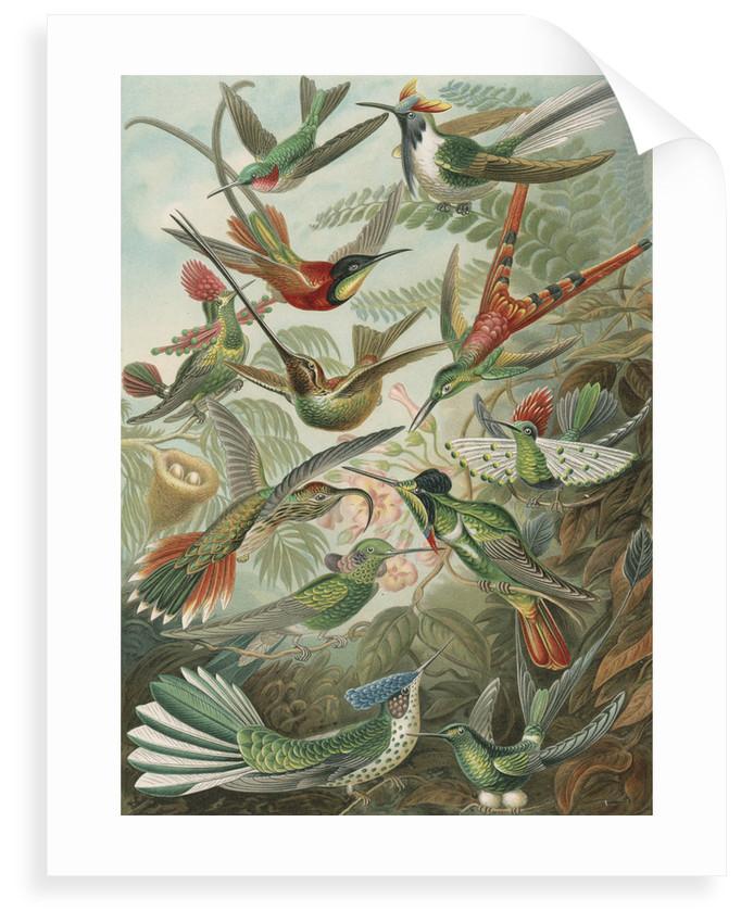 'Trochilidae' [humming birds] by Adolf Giltsch