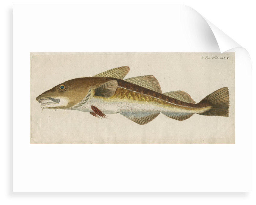 'Le Titling' [adult Atlantic cod?] by Anonymous