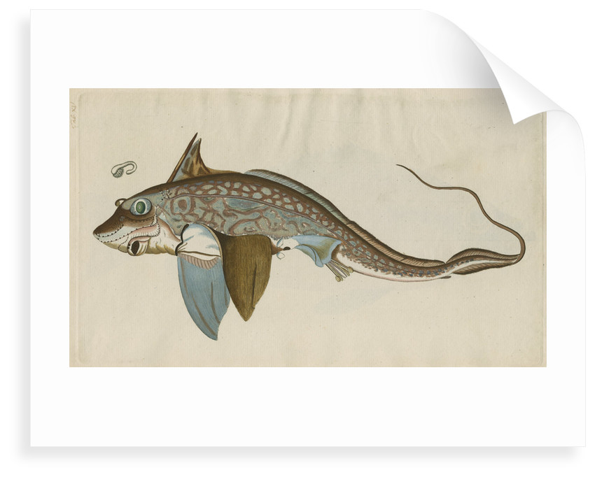 'La Chimere' [Rabbitfish] by Anonymous