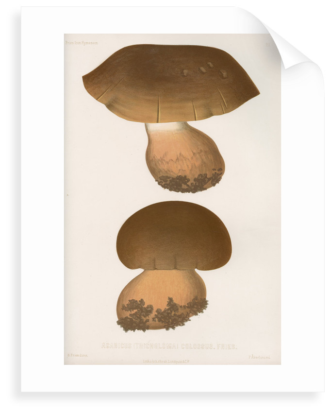 'Agaricus (Tricholoma) Colossus' [Giant Knight mushroom] by Abraham Lundquist & Company
