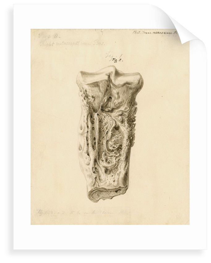 Fossil metatarsal bone of a bos by William Clift