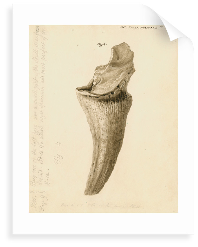 Fossil horn core of a bos by William Clift