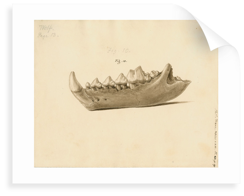 Fossil wolf jaw by William Clift