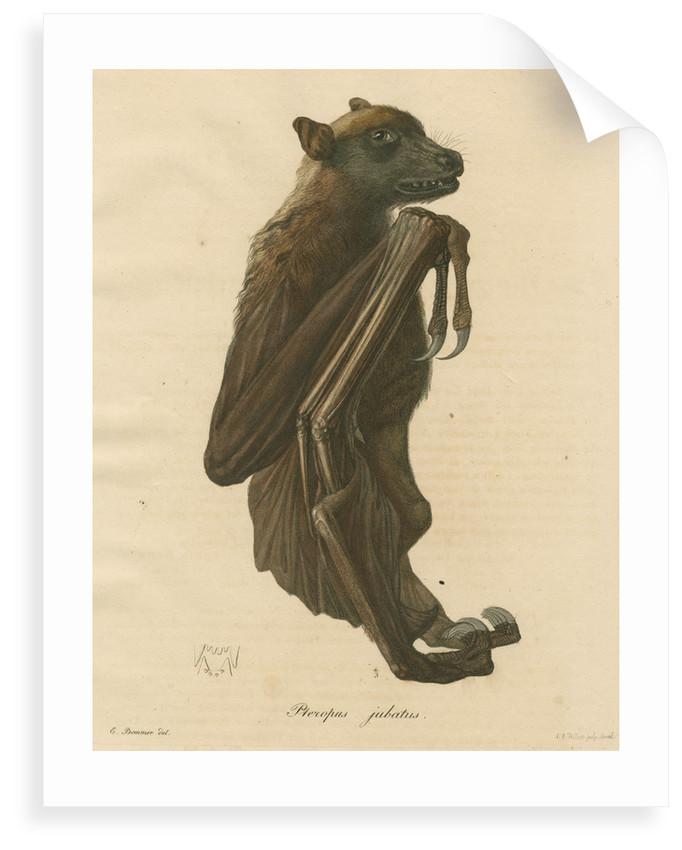 'Pteropus jubatus' [Flying fox] by C E Weber