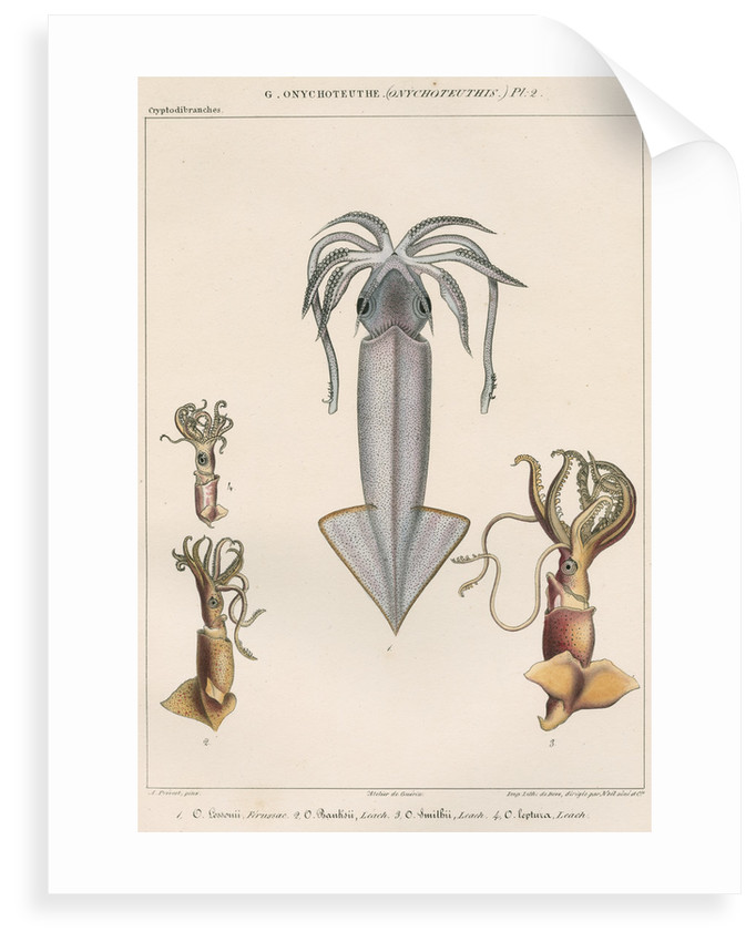 Studies of four varieties of squid by Benard
