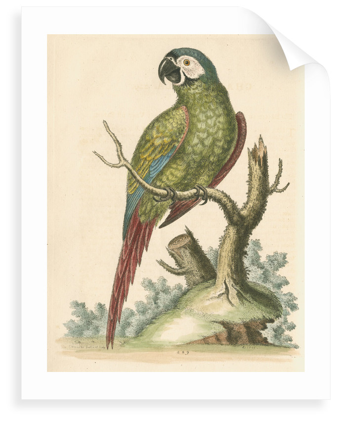 'The Brasilian Green Macaw' by George Edwards