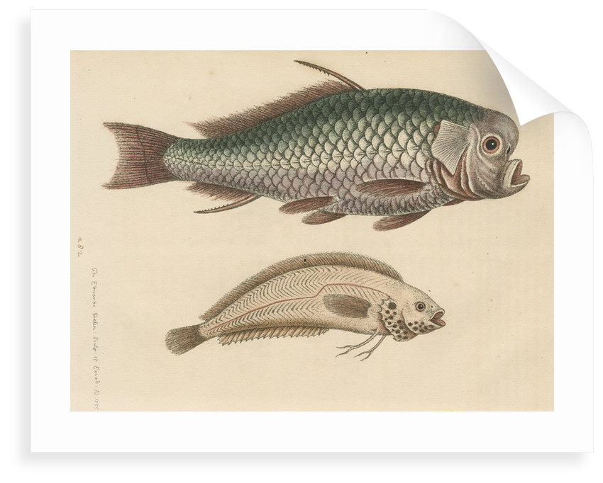 'The Spur-Fish; and the Indian Gattorugina' by George Edwards