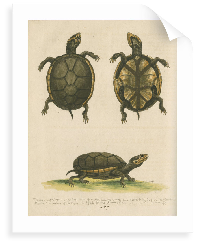'The small Mud-Tortoise' by George Edwards