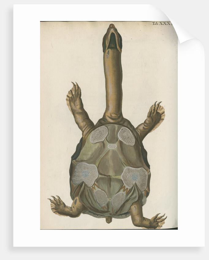 'Testudo granosa' [Indian flapshell turtle] by Johann Friedrich Volckart