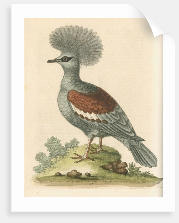 'The Great Crowned Indian Pigeon' by George Edwards