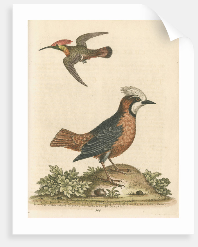 'The White-faced Manakin, and the Ruby-crested Humming-Bird' by George Edwards