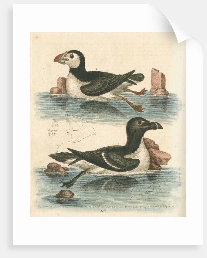 'The Puffin, and the Razor-bill' by George Edwards