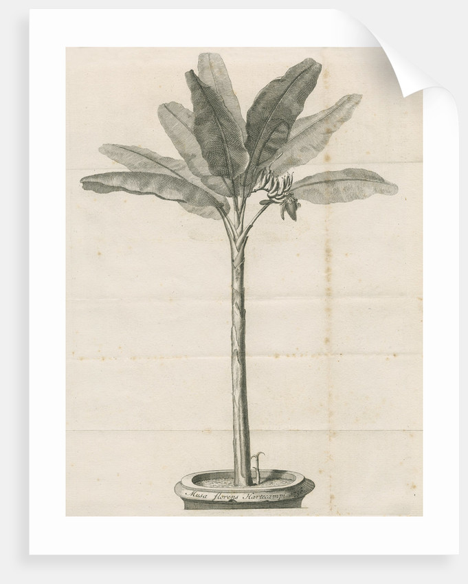 Clifford's banana plant by Anonymous