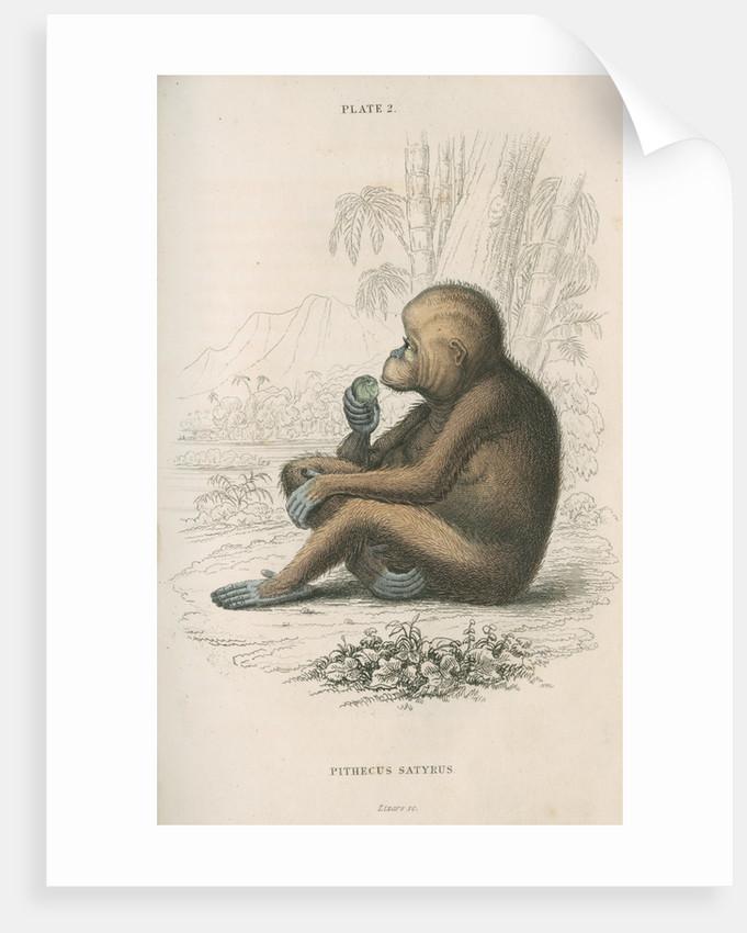 'Pithecus satyrus' [Orangutan] by William Home Lizars
