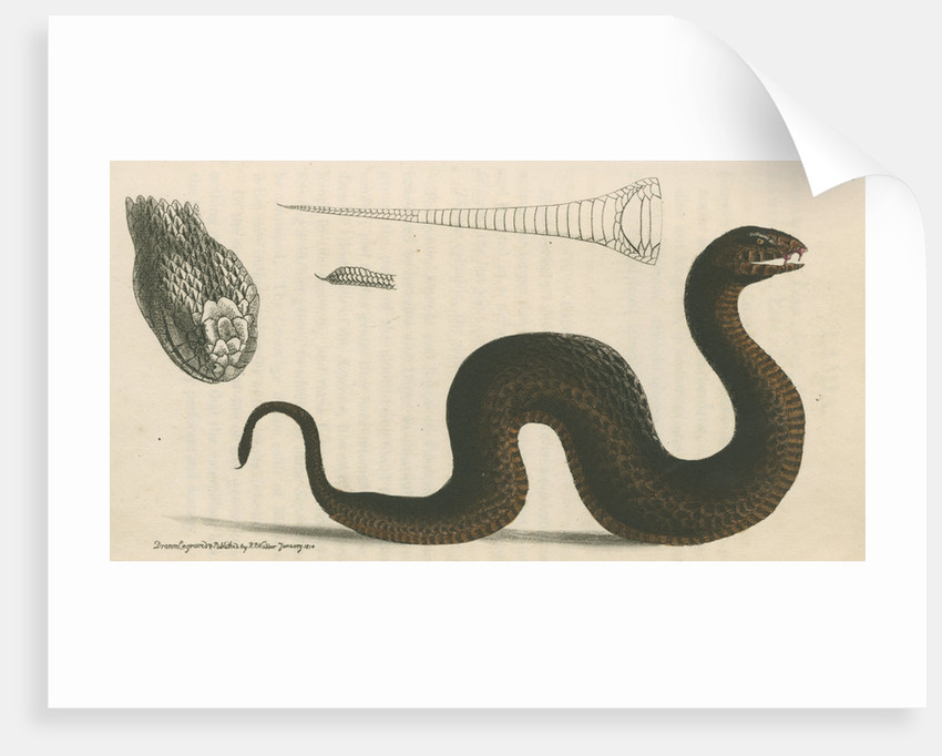 'Brown's acanthophis' [Common death adder] by Richard Polydore Nodder
