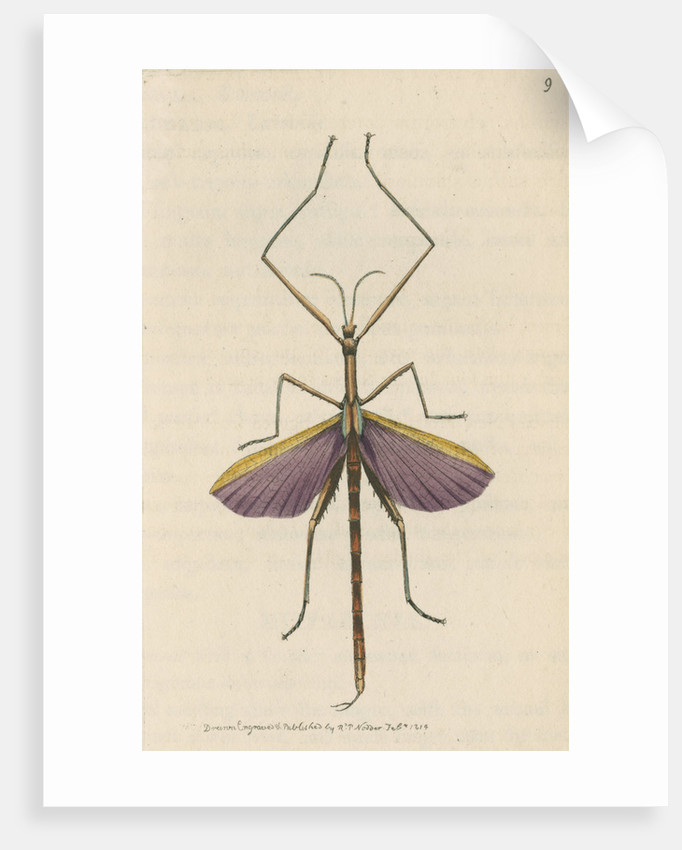 'Violet-winged phasma' [Spur-legged stick insect] by Richard Polydore Nodder