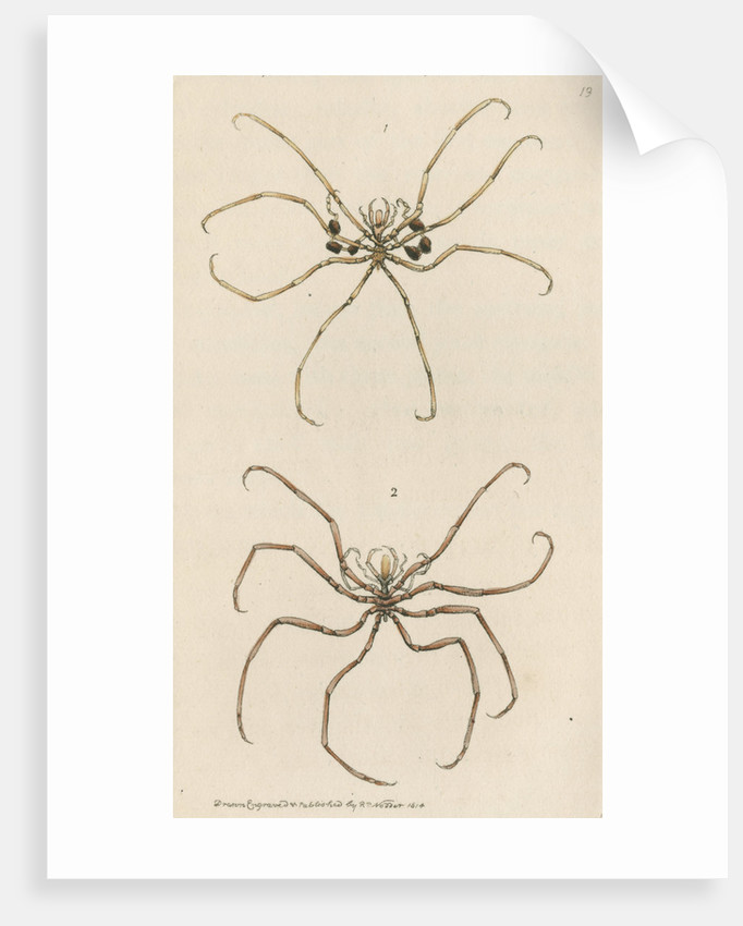 Two specimens of crustaceans by Richard Polydore Nodder
