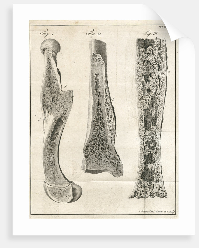 Sections of the leg bones by Faustino Anderloni