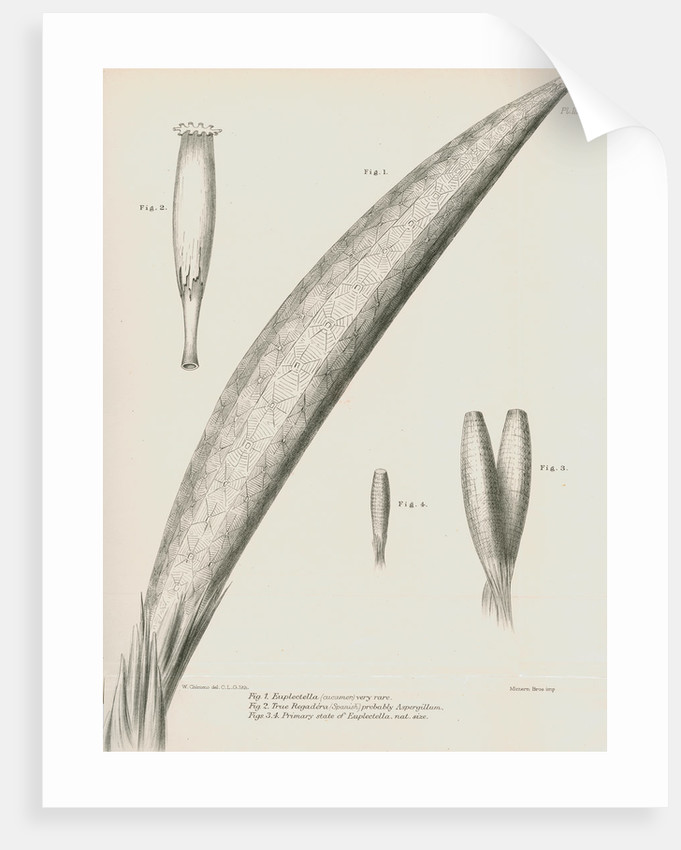 Specimens of Euplectella [Venus's flower basket] by C L G