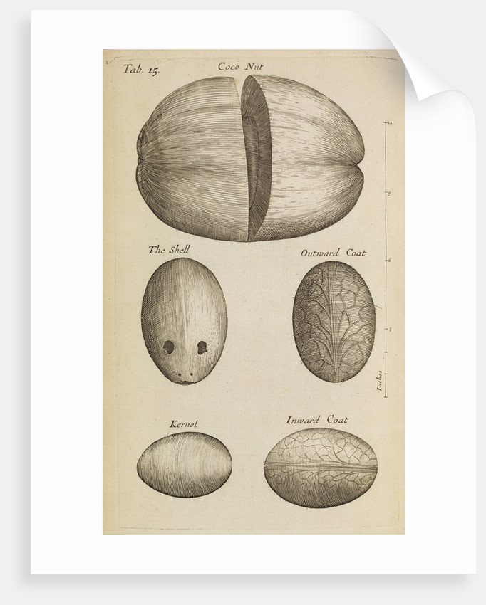 A coconut in the Royal Society's Repository by Anonymous