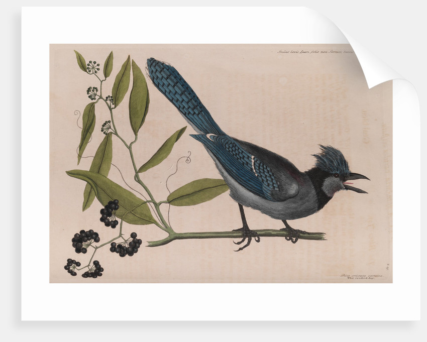 The 'blew jay' and the 'bay-leaved smilax' by Mark Catesby