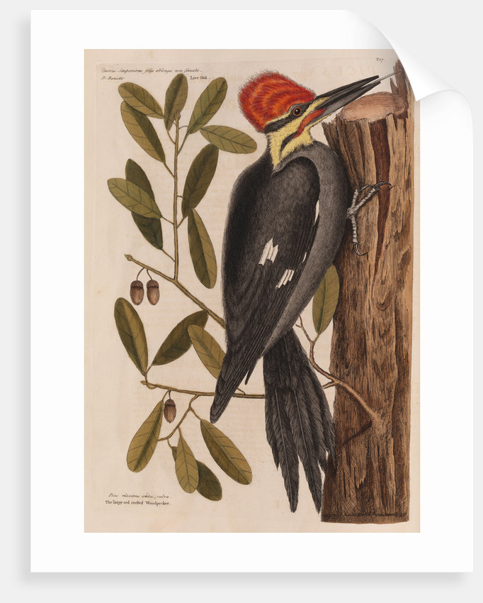 The 'larger red-crested wood-pecker' and the 'live oak' by Mark Catesby