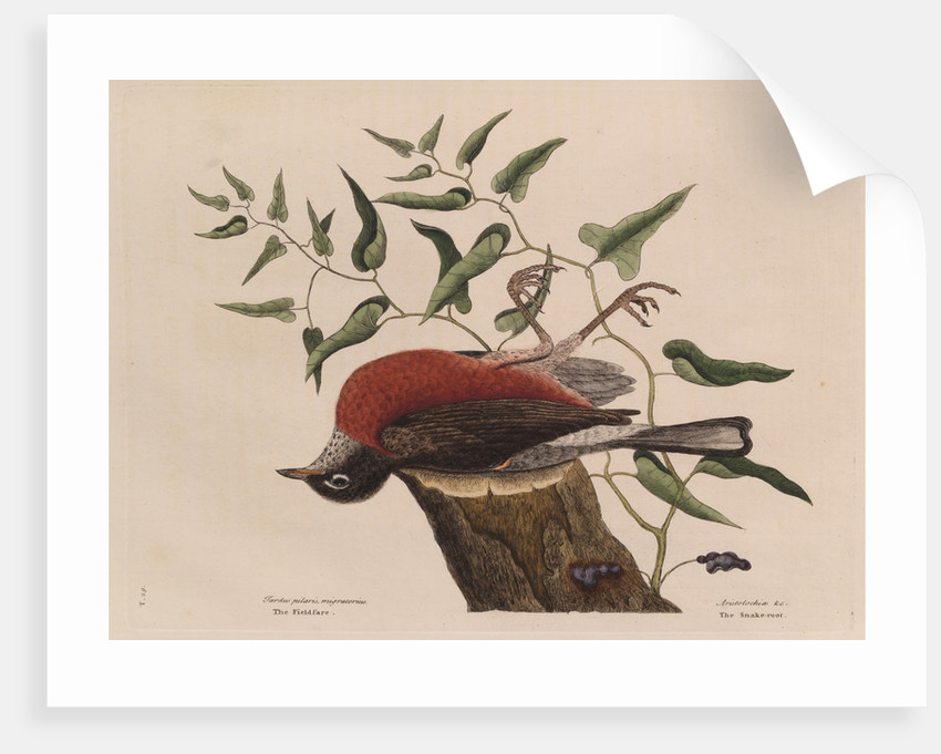 The 'fieldfare of Carolina' and the snake-root of Virginia by Mark Catesby