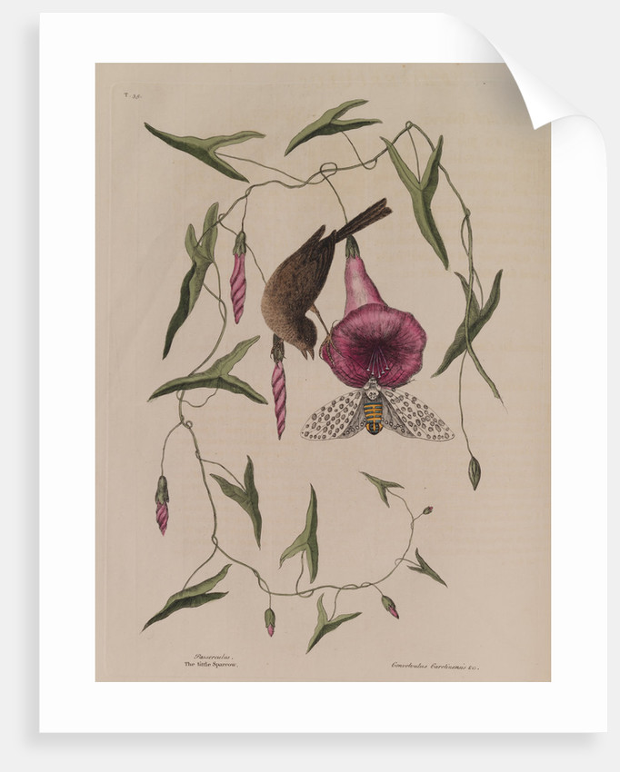 The 'little sparrow' and the 'purple bind-weed of Carolina' by Mark Catesby