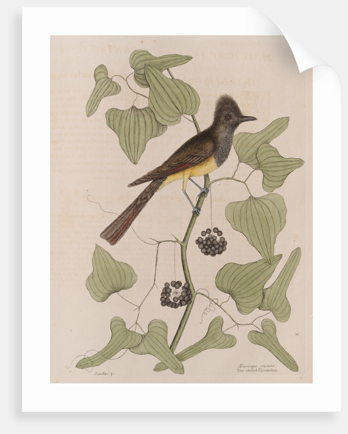 The 'crested fly-catcher' and the 'Smilax bryoniae' by Mark Catesby