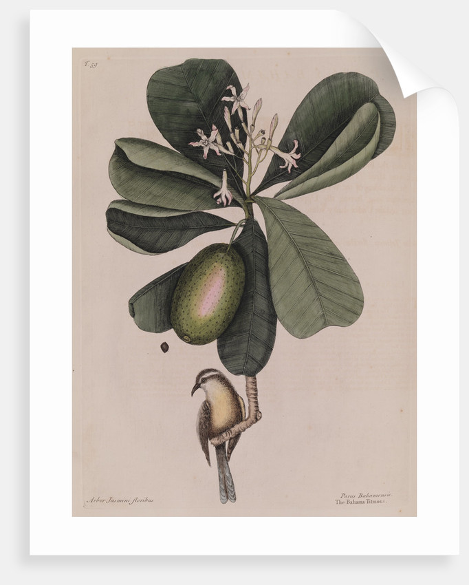 The 'Bahama titmouse' and the 'seven years apple' by Mark Catesby