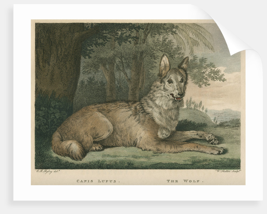 'The Wolf' by William Skelton