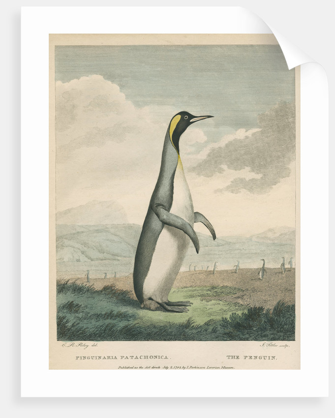 'The Patagonian Penguin' by James Fittler