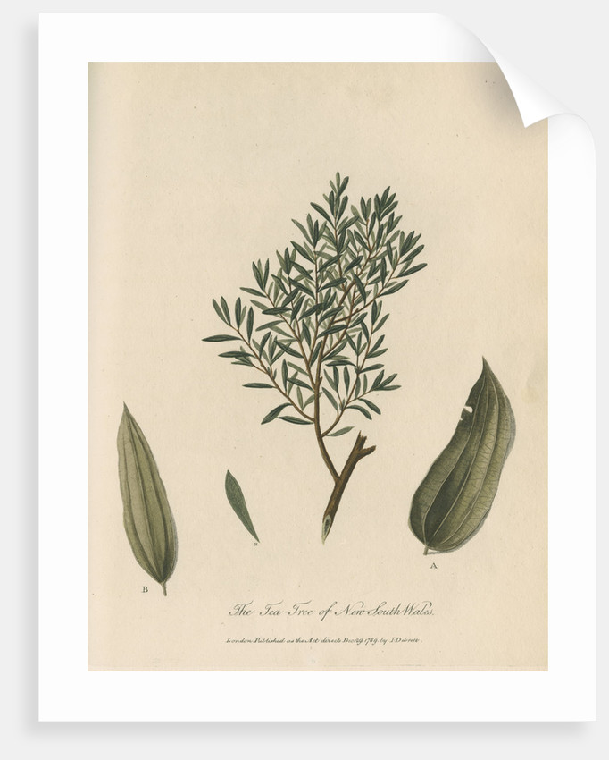 'The Tea Tree of New South Wales' by Frederick Polydor Nodder