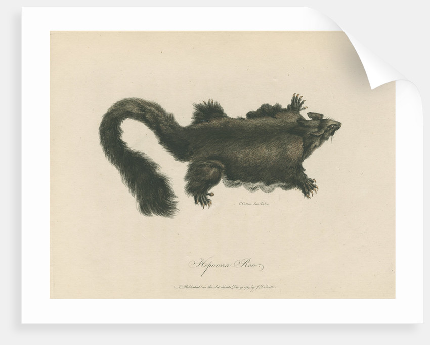 'Hepoona Roo' [Greater glider] by Charles Catton the younger