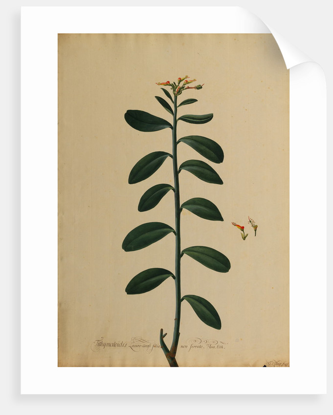 Tithymaloides lauro-cerasi folio by Georg Dionysius Ehret