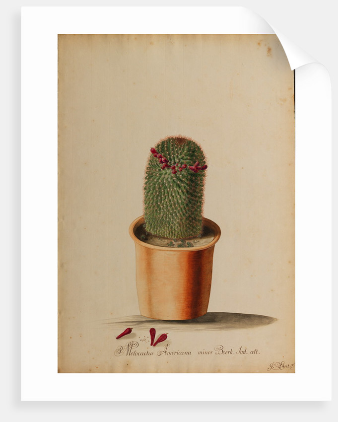 Melocactus americana minor Boerh by Georg Dionysius Ehret