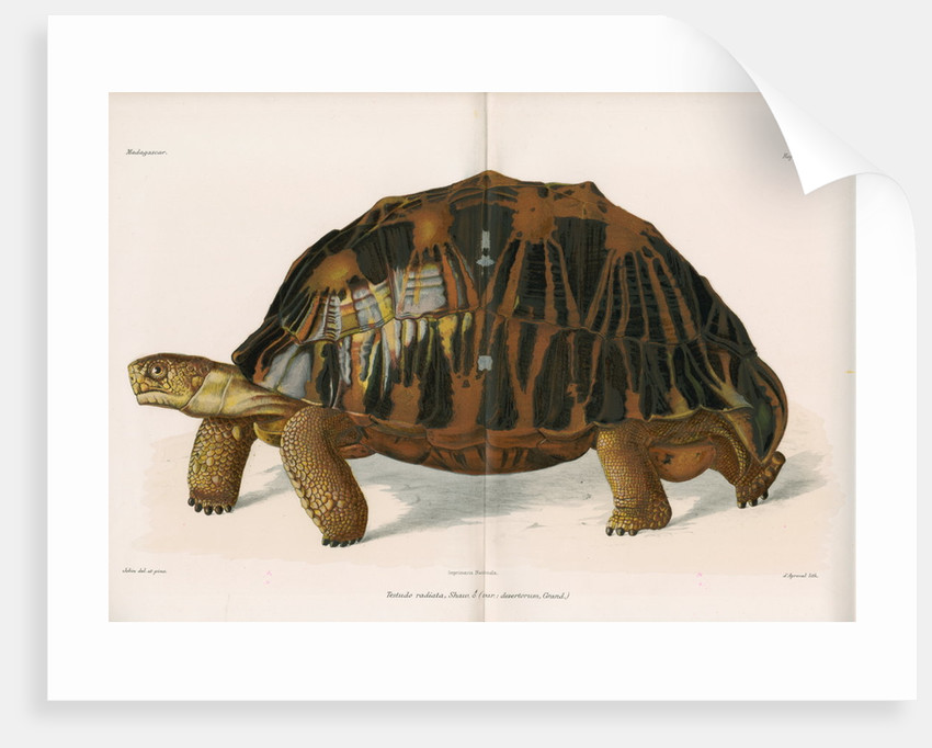 Radiated tortoise by André Revillon d'Apreval