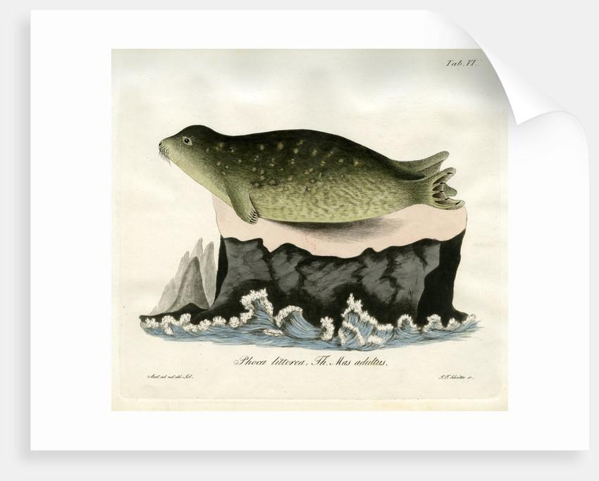Eastern Atlantic Harbour seal by Johann Friedrich Schröter